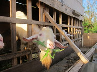 草を食べる親ヤギ 2011