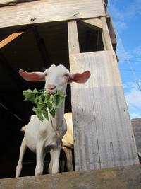 草を食べる子ヤギ 2011