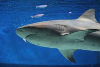 サメの上半身アップ 2014/05