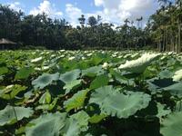 東南植物楽園のハス01