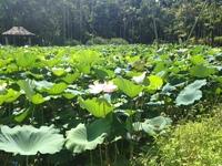 東南植物楽園のハス03