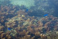 備瀬崎の澄んだ海と青いお魚