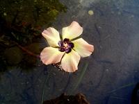 池に浮かぶユウナの花