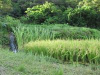 垣花樋川で撮影した稲02