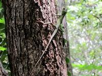 木にとまっているトカゲ 横