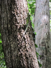 木にとまっているトカゲ 縦