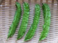 うりずん豆4本 ザル盛り2014