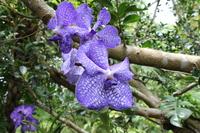 洋蘭 紫 横