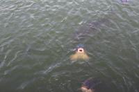鯉の口2014