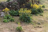 ツワブキの花2014-1
