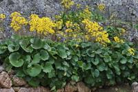 ツワブキの花アップと城壁2014
