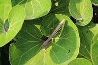 ツワブキの葉にのったカマキリ
