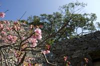 寒緋桜と今帰仁城趾の城壁2