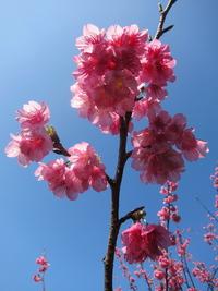 寒緋桜と空2