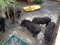 黒い豚数匹