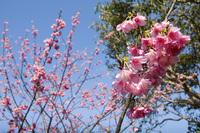 寒緋桜と空4