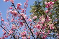 寒緋桜と空5
