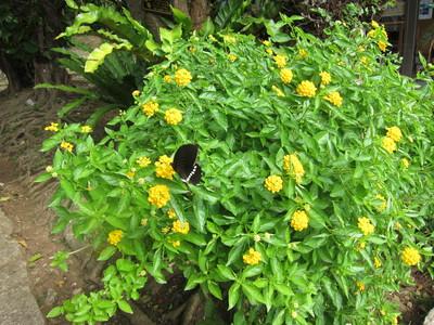 ランタナに止まる蝶