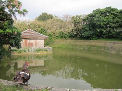 龍潭池をながめるカモ