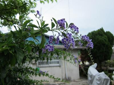 タイワンレンギョウ2012