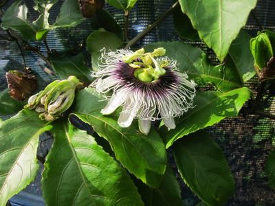 パッションフルーツの花1 2012