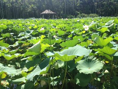東南植物楽園のハス02