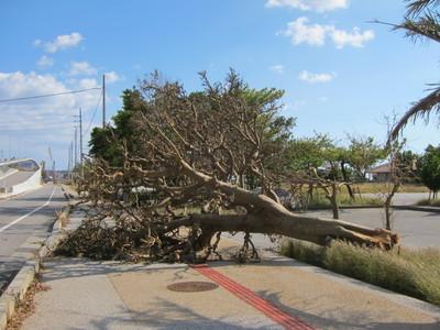 台風被害で木が倒れる2013-01