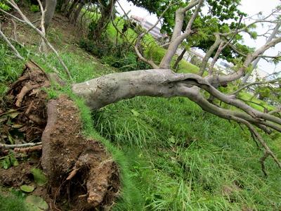 台風被害で木が根元から倒れる2013