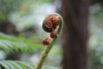 ヘゴの小さい新芽