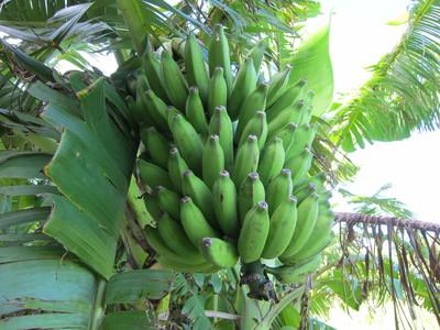 木になっている島バナナ01