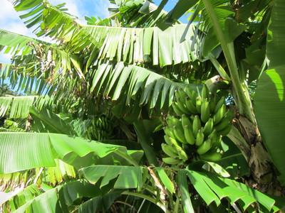 木になっている島バナナ02