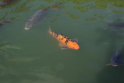 オレンジの鯉2014