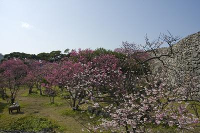 寒緋桜と今帰仁城趾の城壁1