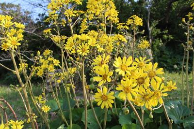 ツワブキの花2014-4