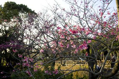 寒緋桜と空