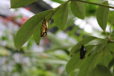 チョウのサナギ2015