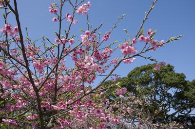 寒緋桜と空3