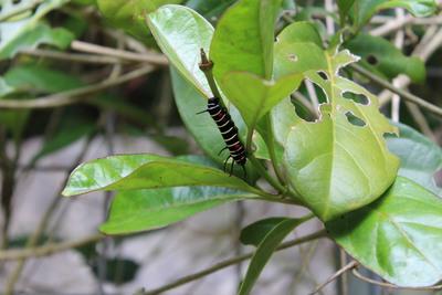 チョウの幼虫2015