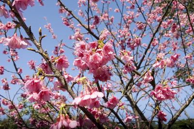 寒緋桜と空6