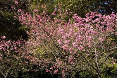 寒緋桜と木