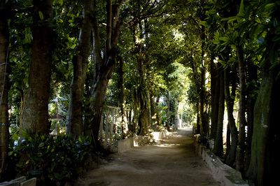 備瀬の福木並木2