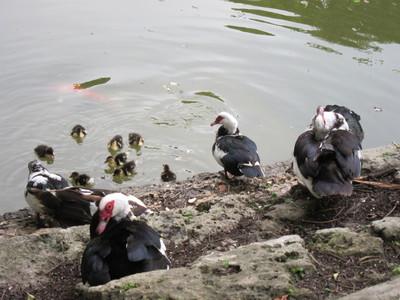 池でくつろぐカモ